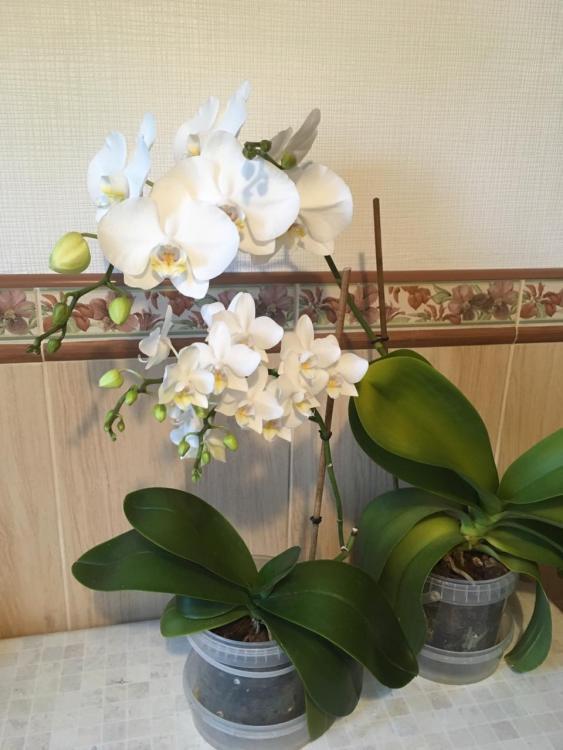 орхидея3_2019.jpg